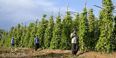 Plants de poivre de Kampot