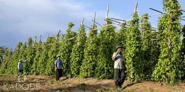 Kampot pepper farm