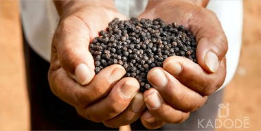 Farmer with black Kampot pepper in hands