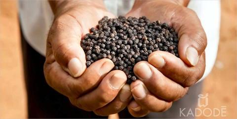 Poivre de Kampot noir dans les mains d'un fermier