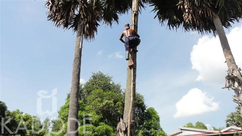 Harvest coconut sugar