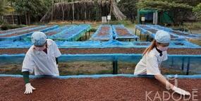 Kampot pepper sun drying